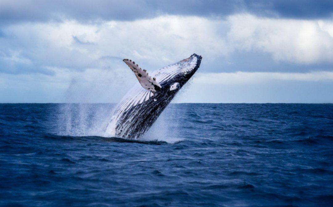 Thị trường xôn xao khi thêm một cá voi khác di chuyển 82 triệu USD BTC