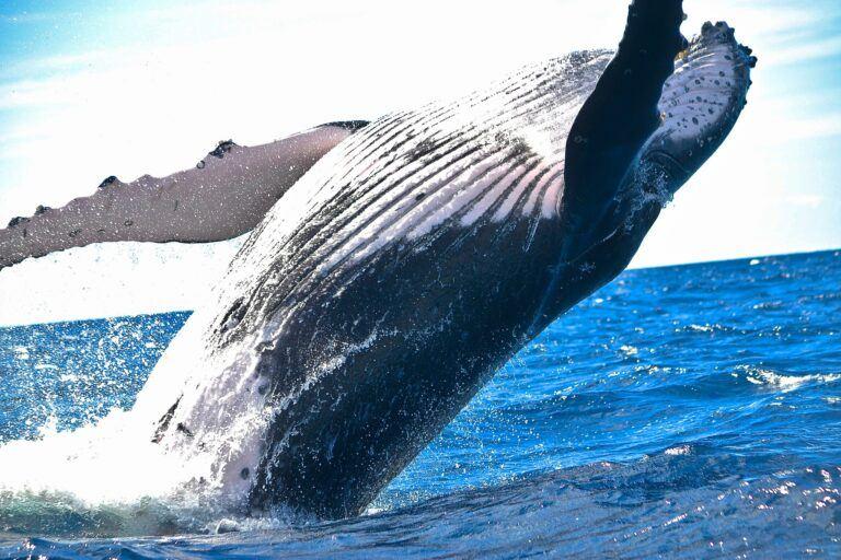 Chính cá voi đã thúc đẩy giá REN lên mức cao nhất mọi thời đại