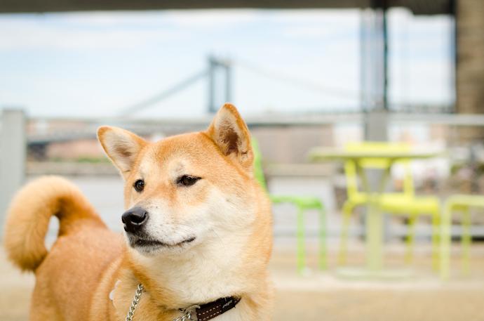 Điều gì đã khiến Shiba Inu tăng chóng mặt và liên tiếp được niêm yết trên các sàn giao dịch mới?